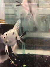 3 Assorted Angel Fish Free Shipping