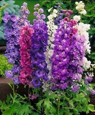 GIANT DELPHINIUM 25+ FLOWER SEEDS MIX / PERENNIAL