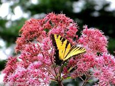 JOE PYE WEED Eupatorium Butterfly Pink Tall Perennial Monarch BULK 300 Seeds