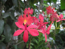 ORCHID EPIDENDRUM RADICANS X2 plants! Reed Orchid,Red flowered.