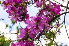 der wunderschöne purpurne Orchideenbaum ist eine Wahnsinns-Pracht !