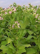 Tabak Samen Nicotiana Tabacum, Virginia Tabak Saatgut  50000 Samen