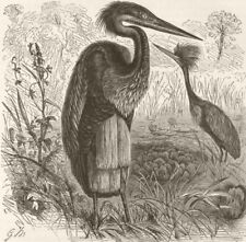 BIRDS. Goliath heron in breeding plumage  1895 old antique print picture