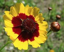Plains Coreopssis Tinctoria Wild Flower 100 Seeds Non GMO Hardy Annual Heirloom