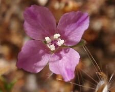 """Atlas Fleur Clarkia amoena 100 exotique graines /""""tout seulement 1 euros/"""""""