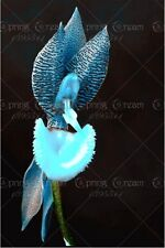 """BLUE "" 2016 new rare orchid Seeds 200 pcs"
