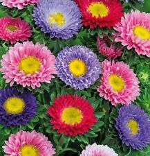 Flower seed - Aster Baroness Mix Flower Seed