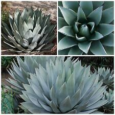 50 graines Agave palmeri ,seeds succulents F