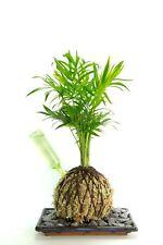 Gewurzelte Zimmerpflanzen