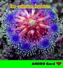 HOT Selling Blue enchantress Carnivorous plant (100 seeds)