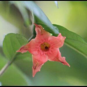 Wrightia dubia 2 seeds