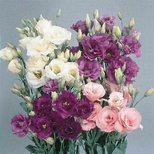 Lisianthus Echo Series Mixed F1 Flower Seeds   10 Seeds
