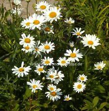 """Zwergige Garten-Margerite (Chrysanthemum maximum """"Silberprinzeßchen"""") Pflanze"""