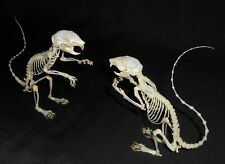 Taxidermy real skeleton callosciurus notatus standing 2 pcs
