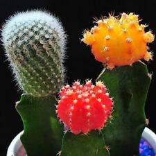 Mezcla suculenta seeds 20X Rara Lithops Living piedras Plantas Planta de Cactus Supremo