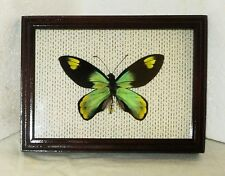 Ornithoptera victoriae victoriae male in frame made of expensive wood..