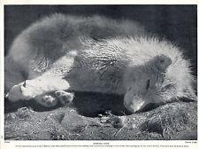 SLEEPING ESKIMO HUSKY SLED DOG LOVELY OLD ORIGINAL DOG PRINT FROM 1934