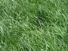 "Kentucky 31 Tall Fescue Grass Seed ""Raw"" 50 Lbs."