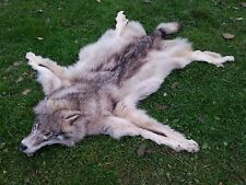Amazing REAL WILD COYOTE WOLF MOUNT FUR RUG PELT SKIN TAXIDERMY