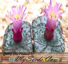 (50) Conophytum Species Mix Seeds - Perfect House Plants Succulent - Comb. S&H