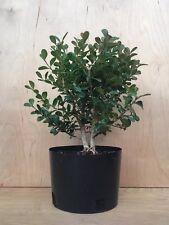 Japanese Twin Trunk Boxwood Pre Bonsai Tree Evergreen Shohin Great Deal