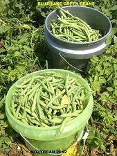 40-50 Blue Lake Bush Bean Seed. Plus Free Gift, Combo Ship, Non-GMO, Heirloom