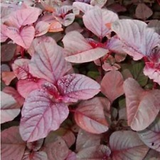 10 grams(10000+) vegetable Seeds Red Garnet Amaranth(Amaranthus tricolor)