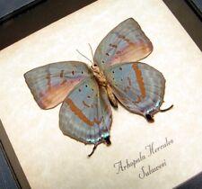 Real Framed Rare Arhopala Hercules Verso Oakblue Butterfly 8041V