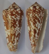 Seashells Conus thomae Cone Snail St.Thomas Cone 70mm F++ Superb Pattern & Color