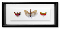 "REAL FRAMED CICADAS #3 - Saiva, Zanna SPP, 3 Color Species, INSECT ART 14""x6.5"""