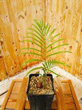 Macrozamia douglasii plantule/seedling, Encephalartos, cycad, Cycas