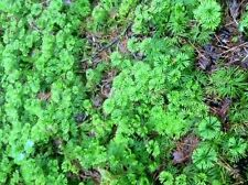 #REG Ground Cedar Evergreen Ground Cover Fern 20 feet starter plants