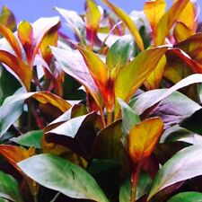 6+ Ludwigia Repens Red Diamond - Tropical live aquarium plant - 1 Bunch