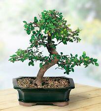 Bonsai Chinese Elm Basic Indoor Outdoor Garden Tree Plant Gift Set 15cm NEW