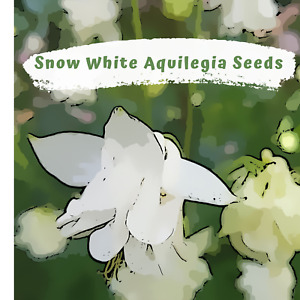 Aquilegia, Granny Bonnets, Columbine  Snow White Flower 50 plus  Seeds