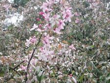"15 JAPANESE WEEPING CRAB APPLE SEEDS - Malus sp "" Pendula """