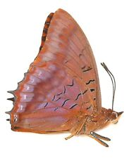 LEPIDOPTERA, NYMPHALIDAE, CHARAXINAE, CHARAXES LUCRETIUS (male) from CAMEROON