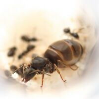 Queen Ant with Brood (eggs, Larvae, Workers) - Lasius Niger