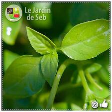 200 graines de Basilic Pistou - SEB-006