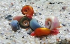 New listing 10+ Assorted Blue & Natural Leapord Ramshorn Snails (Juveniles)-No reserve price