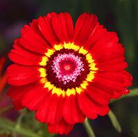 50 Colorful Chrysanthemum Seeds Chrysant Chrysanthemum Garden Flowers
