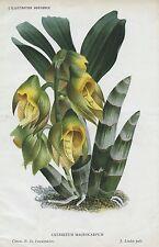 1886 catasetum macrocarpum MONK'S HEAD Orchidea Antico Botanico Stampa Linden