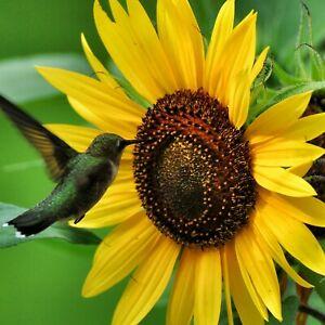 SUNFLOWER SUNBIRD 20 Seeds FLOWER GARDEN cottage HEDGE BORDER easy SPRING SUMMER