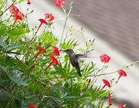 Hummingbird Vine✿CARDINAL CLIMBER✿Cypress Vine✿100 SEEDS✿15+Ft Vines✿Red Flowers