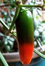 JALAPENO ORANGE pure seeds