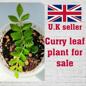 1 live curry leaves plant. sweet neem, Murraya koenigii. Healthy & well rooted.