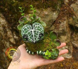 100% Handmade Woodsplitter Lee Cross Anthurium Clarinervium Baby Dragon Pet!