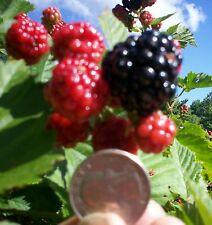 Blackberry Plant Apache Thornless Huge & Delicious Antioxidant