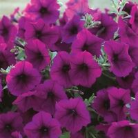 25 Pelleted Seeds Trilogy Purple Trailing Petunia Seeds Pelleted Petunia Seeds