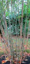 Borinda macclureana, live Tibetan clumping bamboo plant, great hedge or specimen